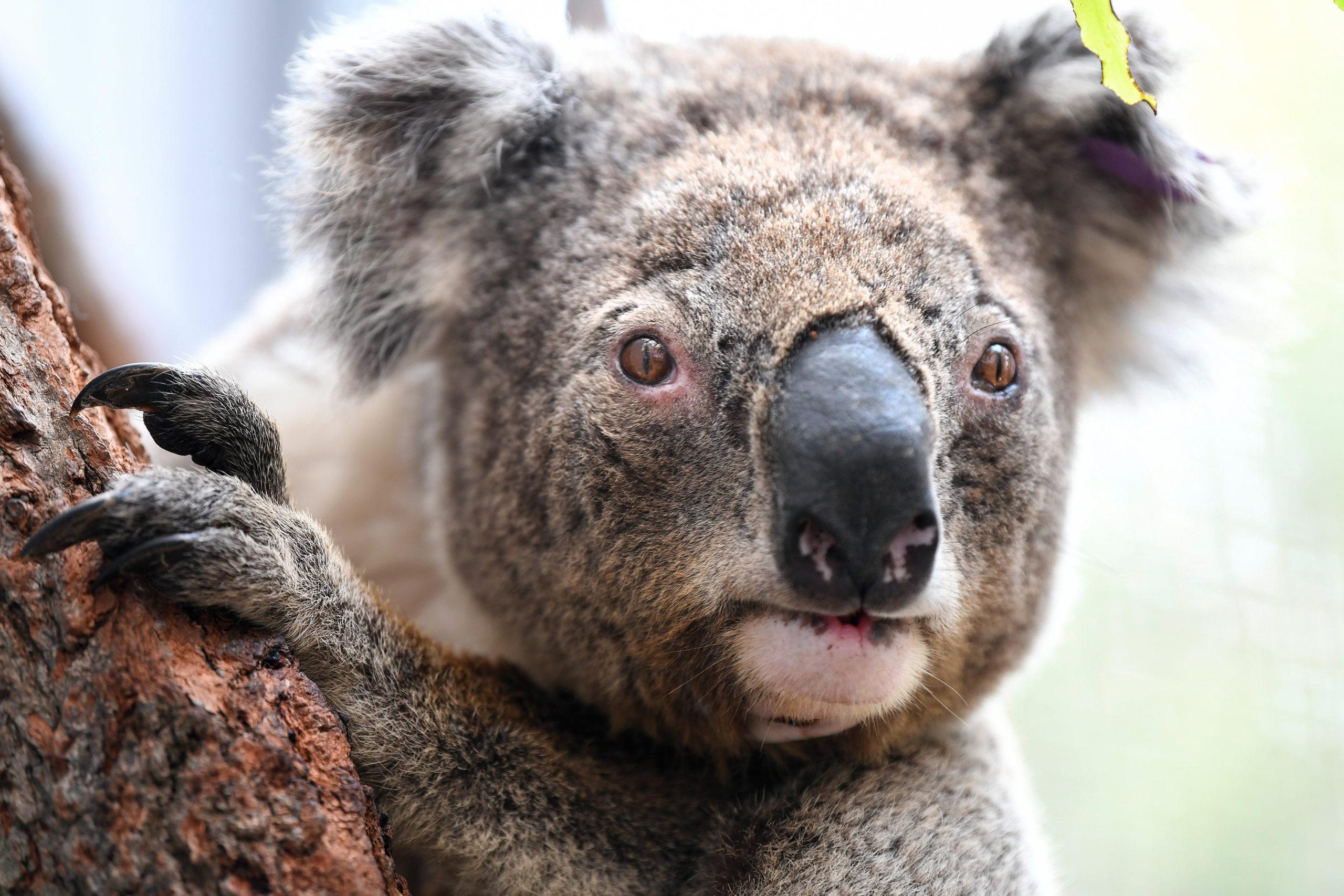Ausztrál tűzvész koala