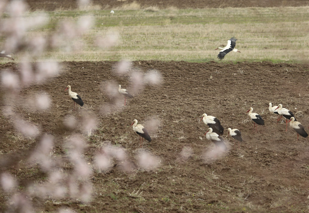 gólya, madár vándorlás