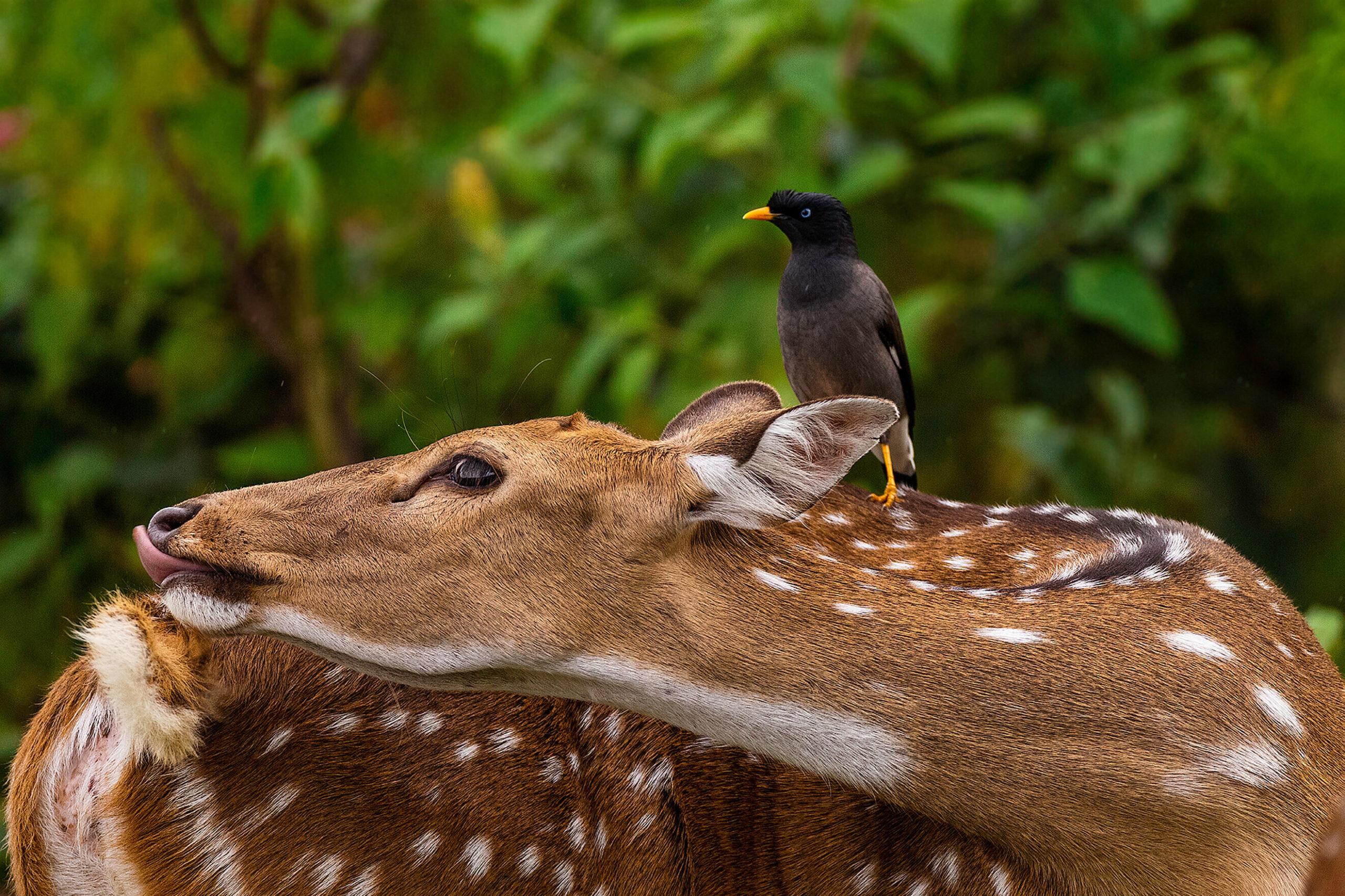 Az őz és a kis madár tökéletes szimbiózisban élnek Fotó: Northfoto